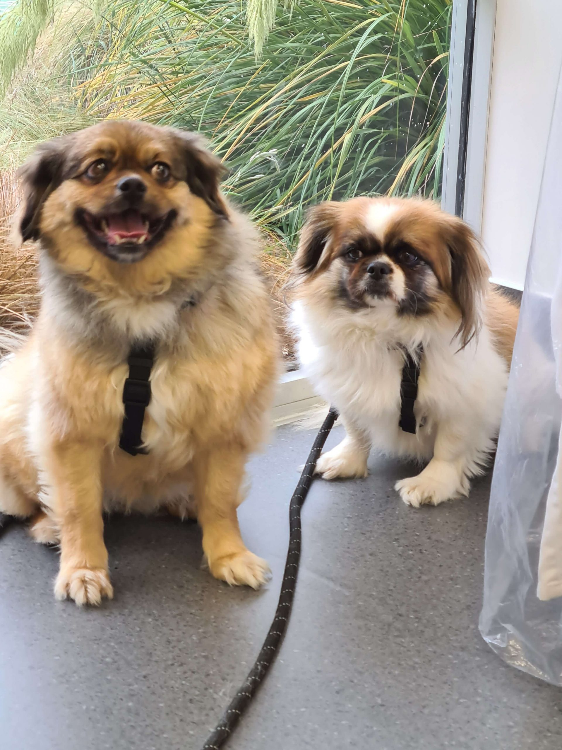 two small brown and white dogs sitting with leads